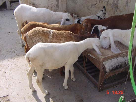 EASY QURBANI :: Perform Qurbani : Meat will be Delivered at Home in